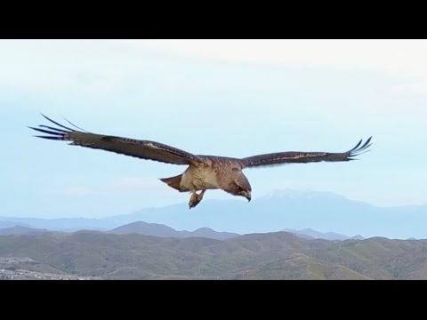 奇跡的!ホバリング中の鷹を真上からドローンで撮影!
