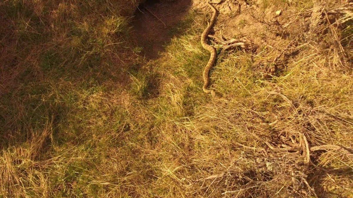 激撮!ガラガラヘビの知られざる生態をドローンが迫る!